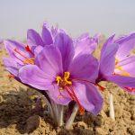 iran-saffron-export
