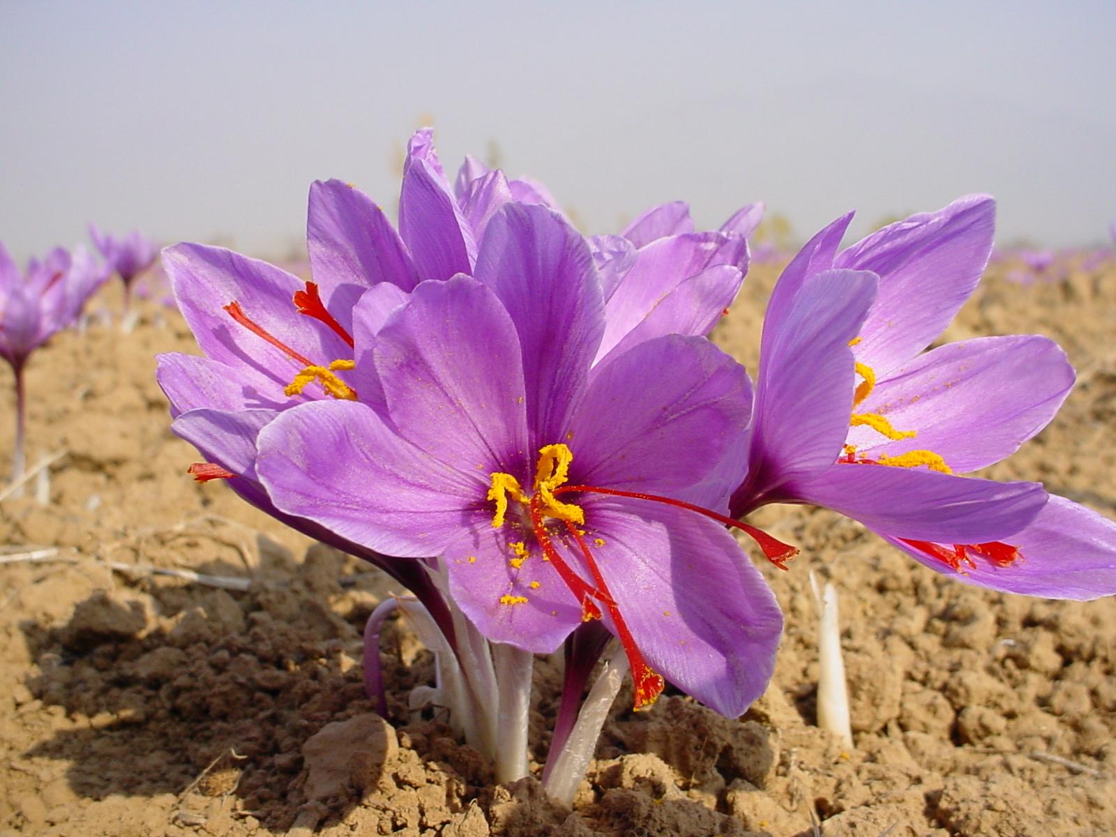 آغاز برداشت زعفران از سطح ۲۵۰ هکتار مزرعه زعفران در زرند